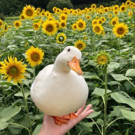 Posing with the sunflowers 🦆 🌻 🌻 🌻