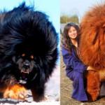 Tibetan Mastiffs so huge