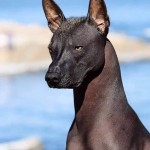 This is the Xoloitzcuintli, also known as the Mexican Hairless Dog