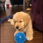 Puppy gets confused when ball bites back