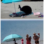 This cassowary kicked an Australian family out from under their beach umbrella so it could cool off in the shade and eat some grapes