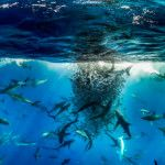 Dusky sharks, yellowfin tuna, and Galápagos sharks working in unison to round up a school of baitfish