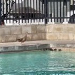 This guy notices baby ducks are getting abandoned in a pool... makes a nylon mesh ramp for them