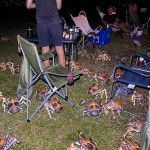 Robber crabs at a family camping trip