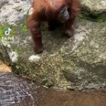 Orangutan puts on sunglasses!