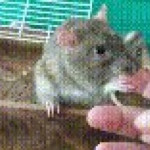 Mother rat teaches her babys how to groom their human
