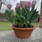 Hampton Court Palace Gardens in UK's Tulips
