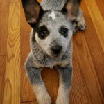 The blue healer was known as an Australian cattle dog 🐶