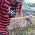 The Giant Huntsman Spider, again Australia