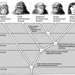 Simplified guide depicting the main branches of ape-human evolution