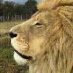 Wonderful Lion King