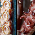 A terrifying comparison of the tentacles of the giant squid (left) and colossal squid (right). The giant squid is meant for painful latching while the colossal squid is meant for ripping apart