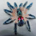 The Brazilian Jewel Tarantula