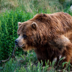 Grizzly Bear Stalks Man for Days, Until He Was Rescued by Coast Guard After Spotting SOS Sign