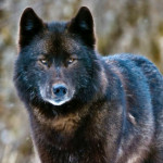 Rare Southeast Alaska Wolf Is One Step Closer To Endangered Species Protection After Being Threatened By Forest Clearcutting & Trapping