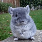 Baby chinchillas are the cutest