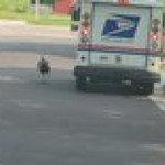 This turkey I saw harassing the mail truck