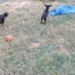 German Shepherd babysitting the Dobermans