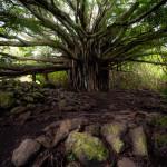 Banyan tree. Maui, Hawaii