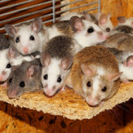 Scientists Bred Healthy Mice Using Artificial Eggs and Ovaries Made From Stem Cells