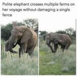 This elephant leaves every fence intact 🐘