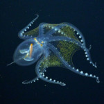 Scientists Capture Footage of 'See-Through' Glass Octopus with Transparent Body