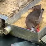 """Duck feeding hungry fish. Credit to the group """"get raw milk"""" on Facebook"""