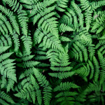 Loved the patterns in these Pacific oakferns (Gymnocarpium disjunctum) I came across while hiking