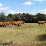 Horses grazing in Söderåsen National Park in Scania, Sweden. The horses help keep the old meadows in the beech forest open and thus preserve biodiversity