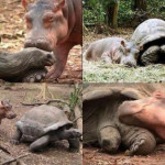 An amazing friendship between a 103-years-old tortoise and a baby hippo