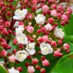 Viburnum tinus Lisa Rose -