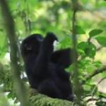 Baby gorilla practices chest beat