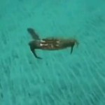 The chances of being killed by a crab are low, but never cero