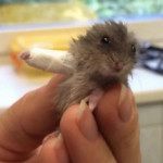 Derp hamster requires cast after biting his own leg