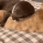 Otter cuddling with a cat