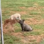 Bambi discovers tasty potato dog