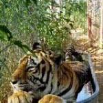 Tiger is enjoying the bath