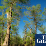 The oldest tree in eastern US survived millennia – but rising seas could kill it
