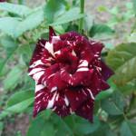 Beautiful hybrid rose