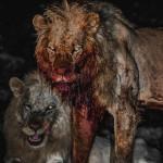 Lions after a hunt