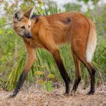 This is a Maned Fox that looks like a crossbreed of a fox and deer