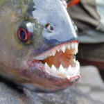 A Piranha's vicious array of teeth. Contrary to popular opinion, they are not ravenous normally, and only attack in a frenzy when hungry