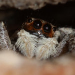Jumping Spiders Seem to Have a Cognitive Ability Only Previously Found in Vertebrates