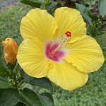 Hibiscus Family is stealing the show right now with all those colors!