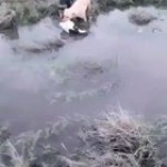 2 dogs trying to help the cow