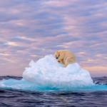 A polar bear sleeping on an iceberg