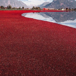 Cranberry Harvest in Canada
