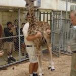 Lifting a baby giraffe