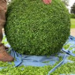 Trimming a boxwood ball