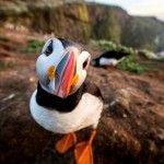 Puffin comes to say hello